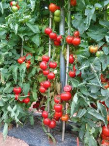 manejo do tomate SV2444TH