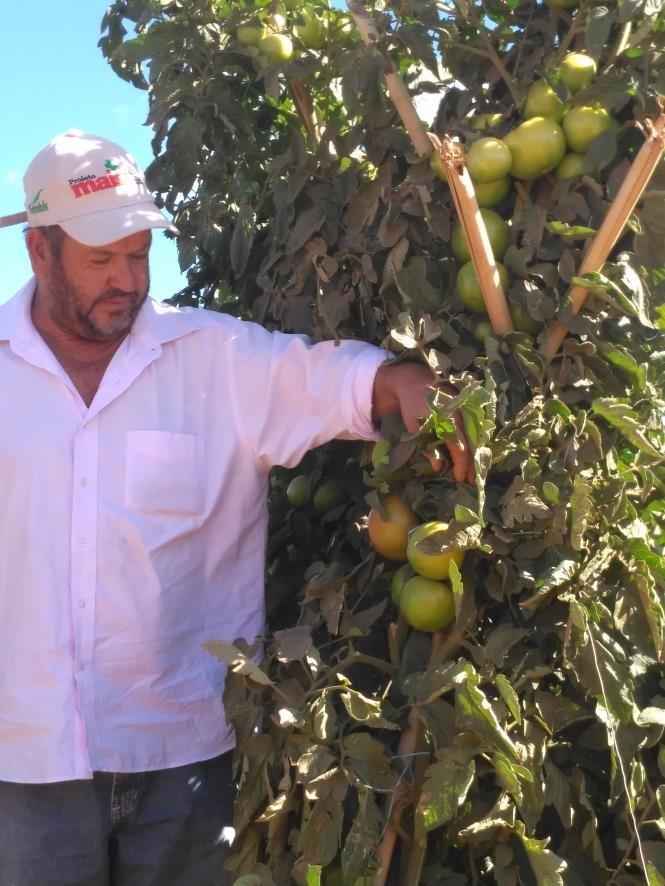 Produtores comprovam qualidade do tomate da Seminis