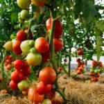 RTV da Seminis, William Mastro, avalia os resultados do tomate Coronel nos campos de SC