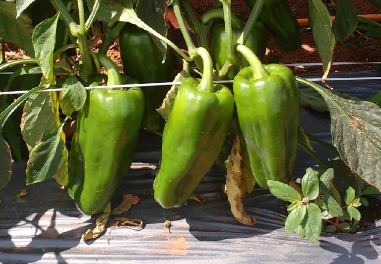 Excelentes resultados e rendimento do pimentão SV1634PH em Taquara, Planaltina DF
