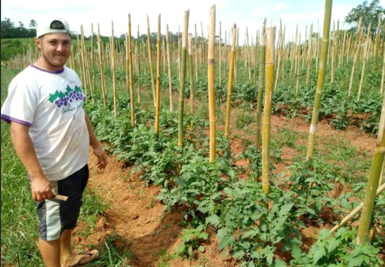 Plantação de Tomate no Sul do Brasil