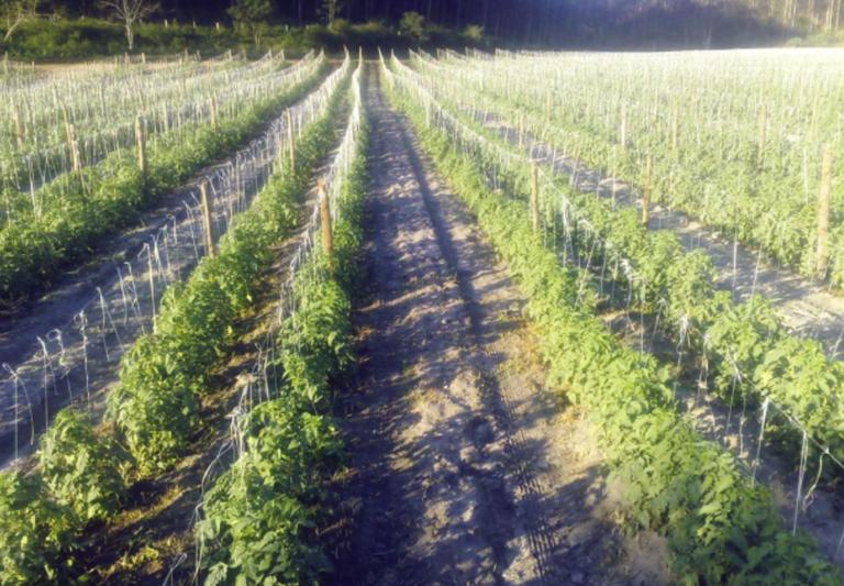 Resultados do tomate Coronel em Linhares ES com fácil manejo
